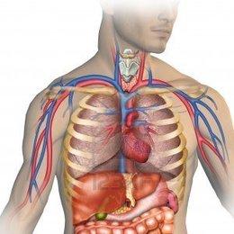 Dessin du corps humain, vue du cœur et des poumons